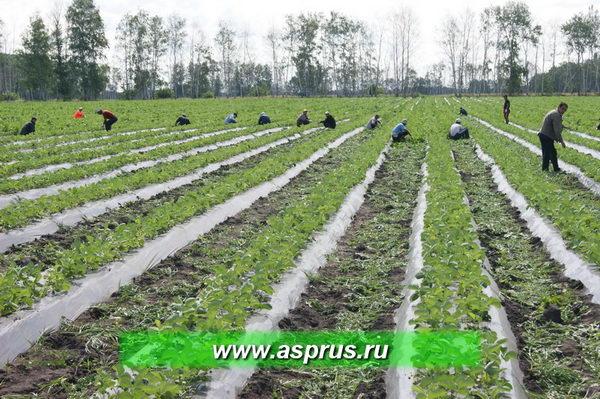 Борьба с сорной растительностью в поле<