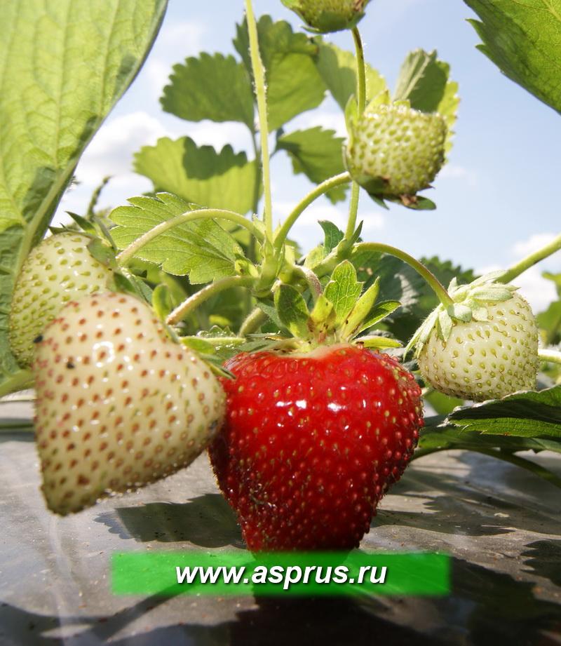 Через 7 - 8 недель после посадки созревают первые ягоды