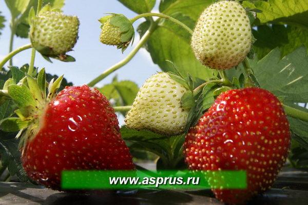 Средний вес ягод с одного куста в год посадки рассады категории