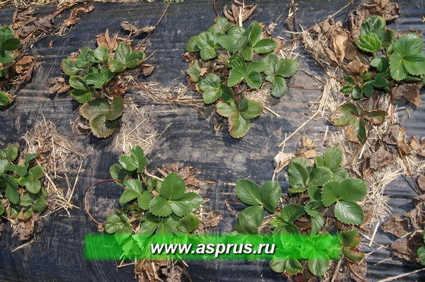 Весной второго года производят очистку плантации от пожнивных остатков