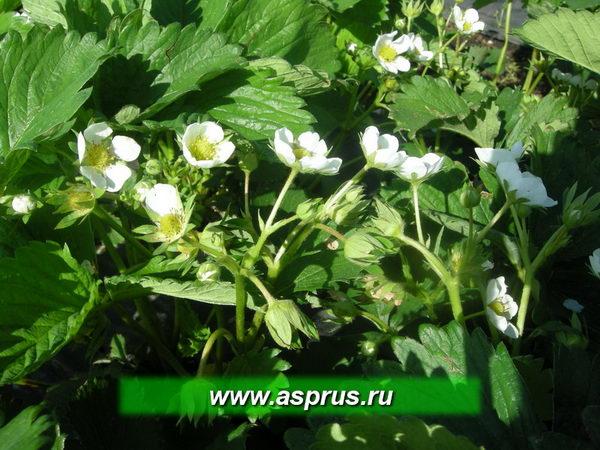 """Обильное цветение земляники садовой сорта """"ЭЛЬСАНТА"""""""