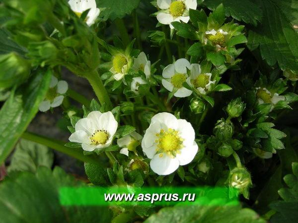 Количество цветков на кусте