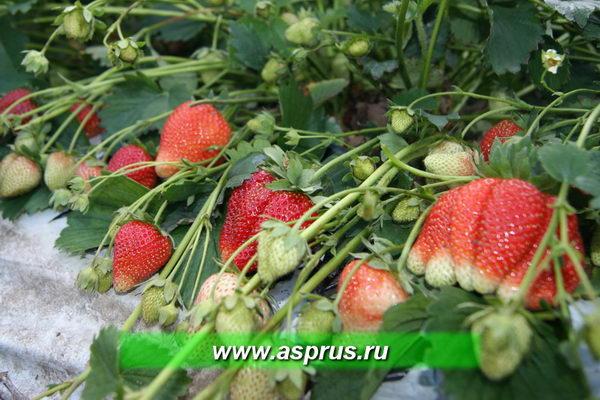Начало плодоношения. Первые ягоды.