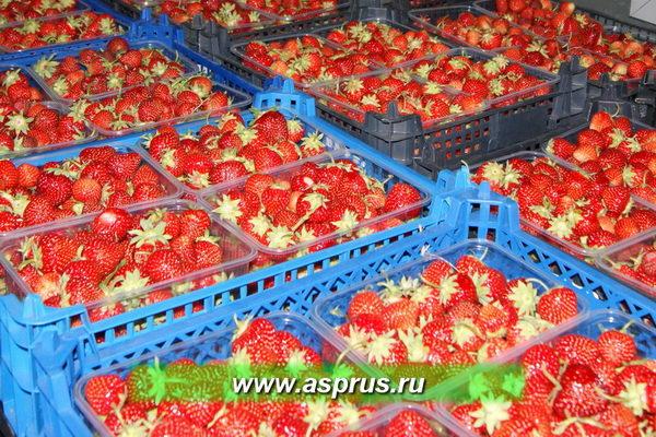 Сбор ягоды в пластиковые контейнеры