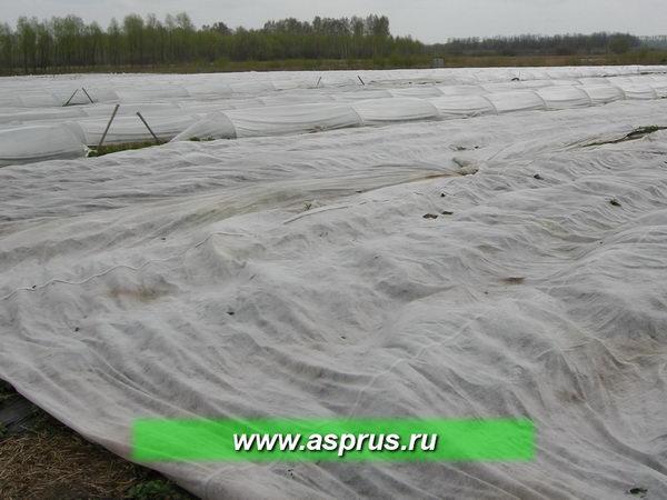 На зимний период плантацию укрывают флазелином или соломой