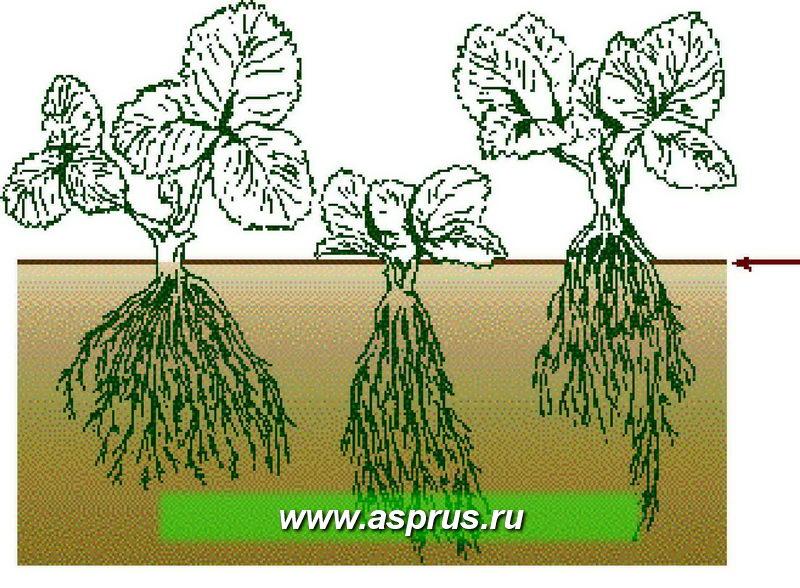 Схема растения земляники и её корневой системы