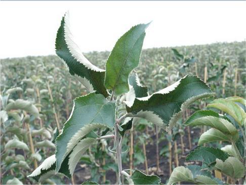 Начало вегетации зимней прививки