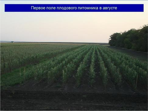 Первое поле плодового питомника в августе