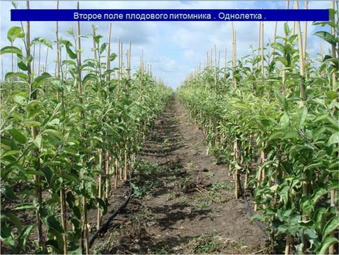 Второе поле плодового питомника . Однолетка .