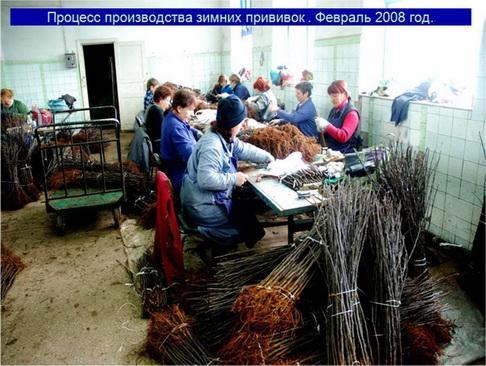 Процесс производства зимних прививок . Февраль 2008 год.