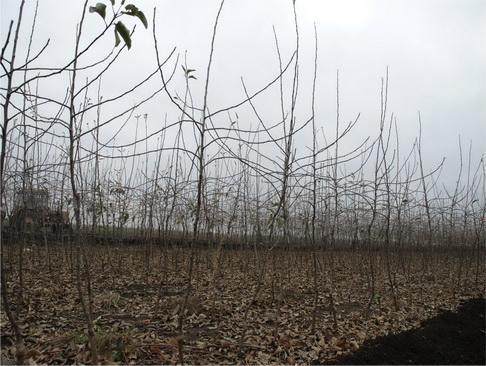 Саженцы перед выкопкой . Октябрь