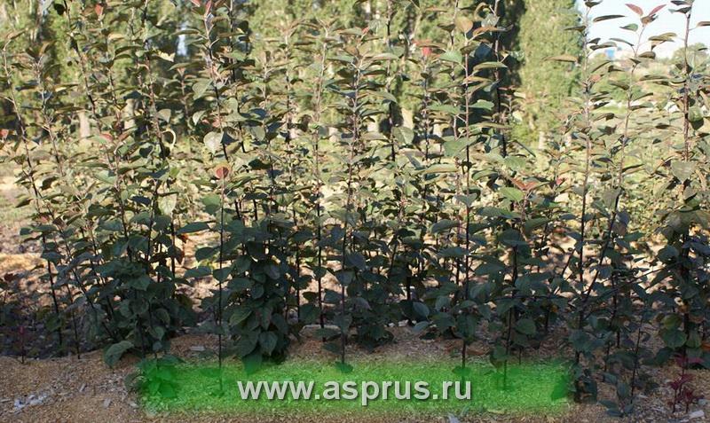 груша, сад, яблоня, вишня, карликовые подвои, клоновые подвои,