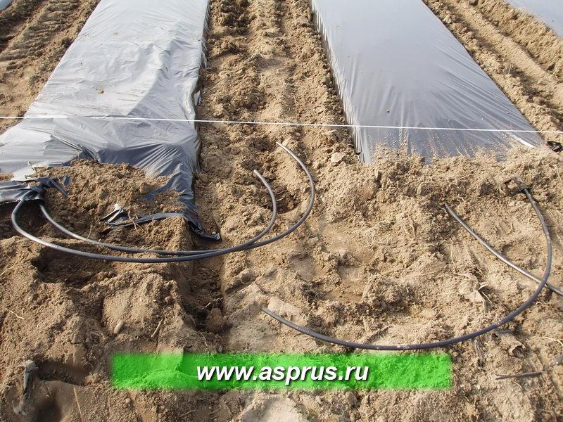 При подготовке участка к посадке рассады используется 2-х строчная система капельного орошения