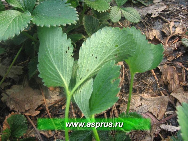 Повреждение листьев земляничным листоедом