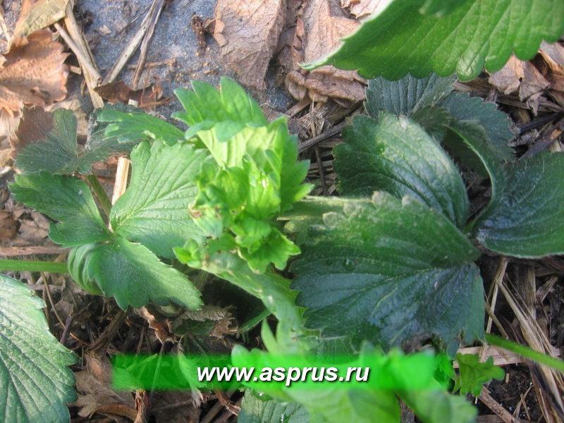 Повреждение листьев земляничным прозрачным клещом