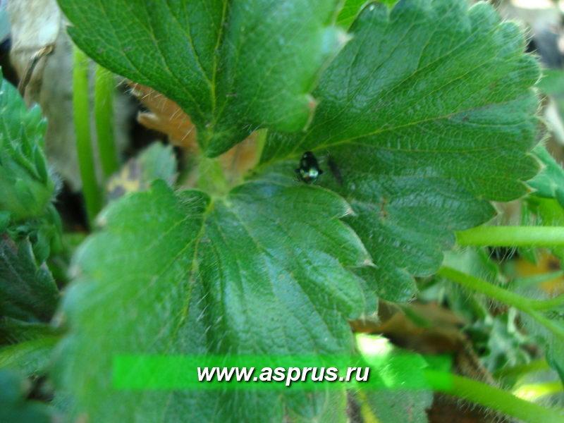 Блошка на сорняке и листе земляники