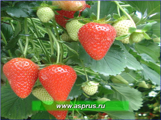 Интегрированная система производства ягод земляники