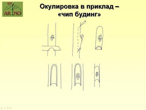 arno_plodpitomnik_pr_13_1.jpg