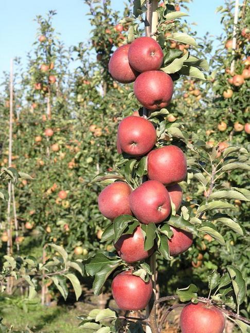 Красноплодная форма сорта Джонапринц (Red Jonaprince)