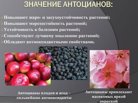 antocyani_milyaev_pr_02_1.jpg