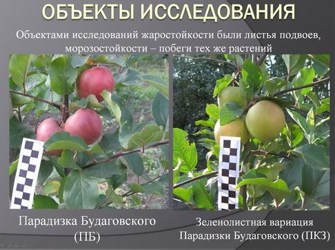antocyani_milyaev_pr_03_1.jpg