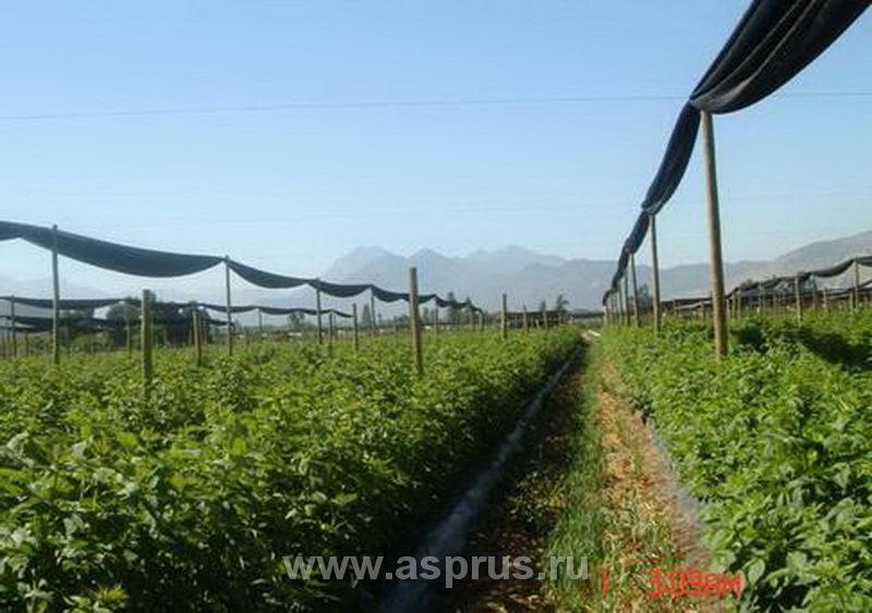 Промышленное выращивание малины в россии 53