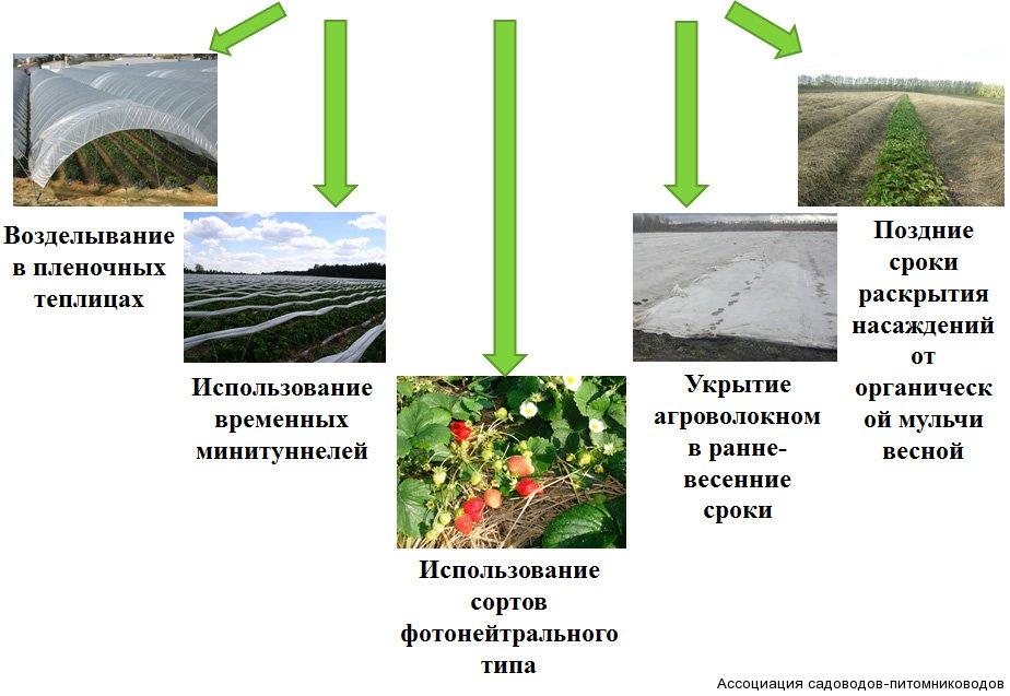 Пути увеличения периода поступления ягод земляники для потребления в свежем виде