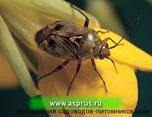 Lygus rugulipennis