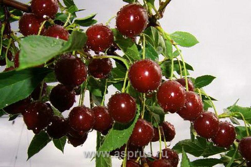 Плодоношение вишни сорта Нордстар