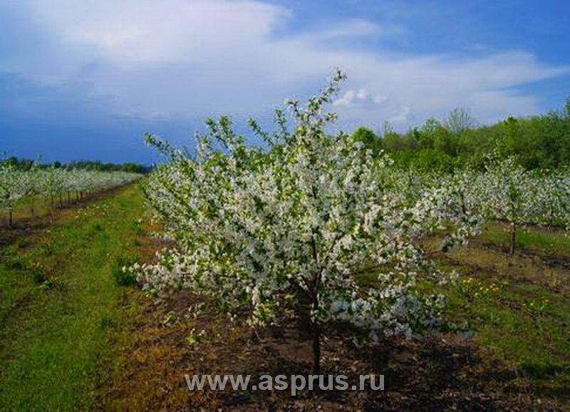 Вишневый сад, заложенный под руководством АСП-РУС в ЗАО