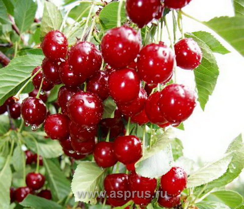 Плодоношение вишни сорта Келлерис