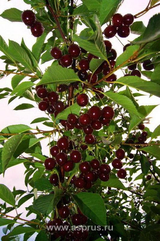 Плодоношение вишни сорта Дебрецени