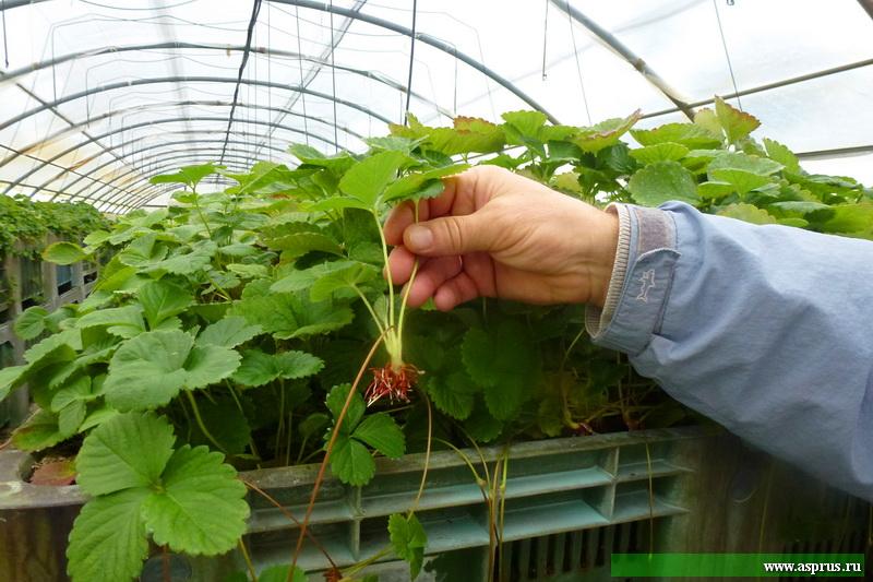Теплица для размножения суперэлитных маточных  растений