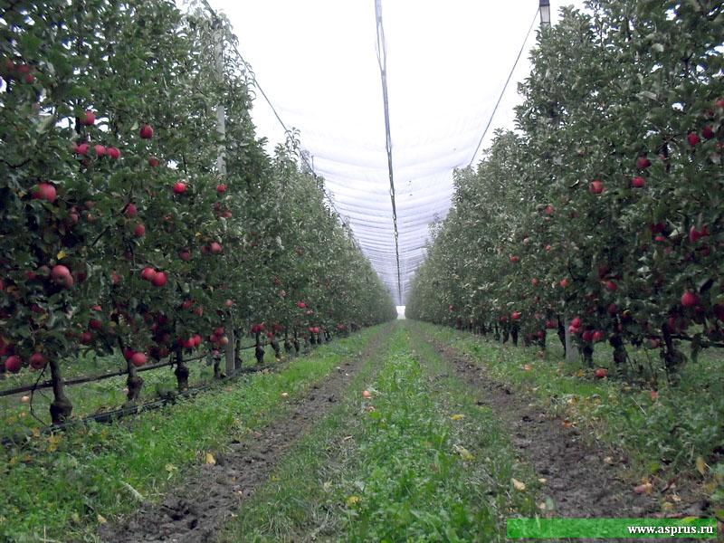 Над садами смонтирована противоградовая сетка, так  как риск повреждения урожая градом в Италии очень велик.
