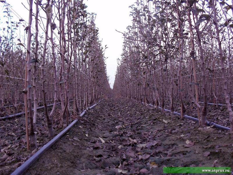 В питомнике Маццони выращивает саженцы по особой  технологии, называемой «Бибаум Маццони» («Bidaum Mazzoni»)