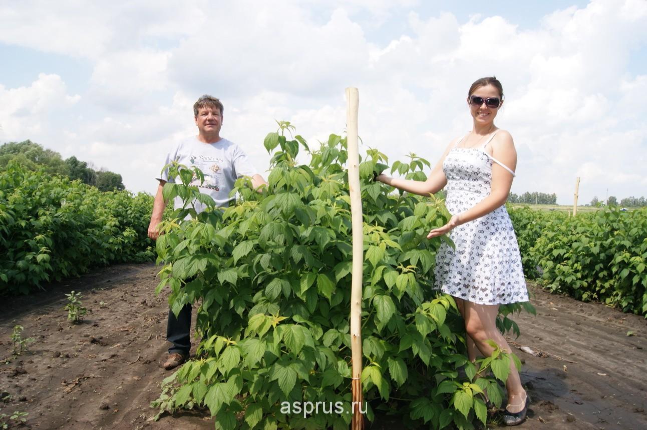 Промышленное выращивание малины в россии 74