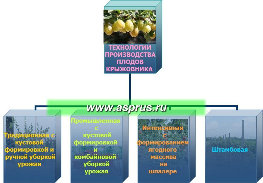 Технологии производства плодов крыжовника