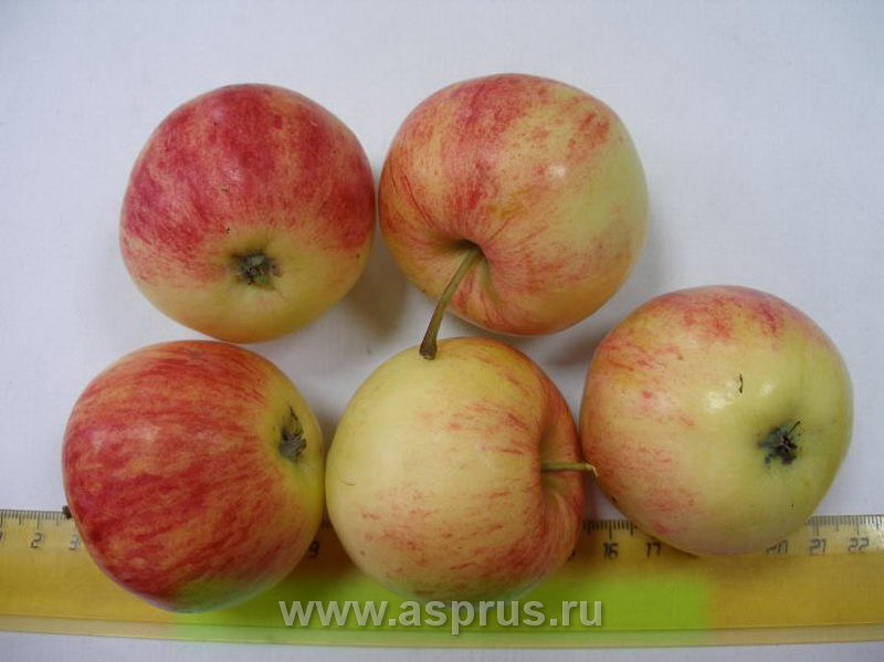 яблоня, Анис розово-полосатый