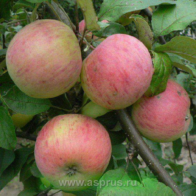 яблоня, Осеннее полосатое