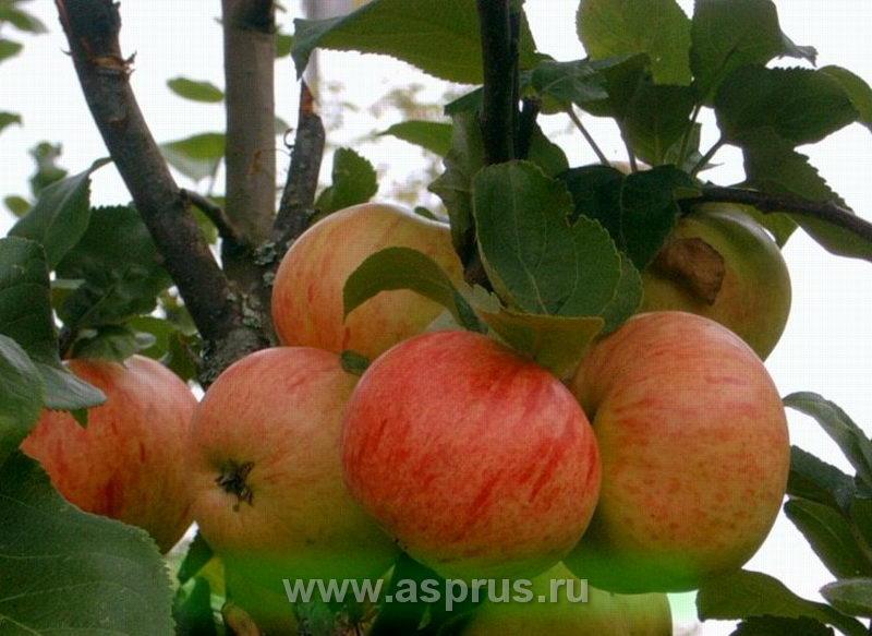 яблоня, Коричное полосатое