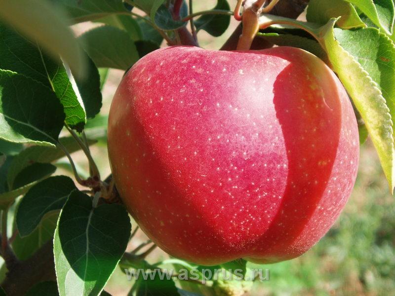 яблоня, Элиза