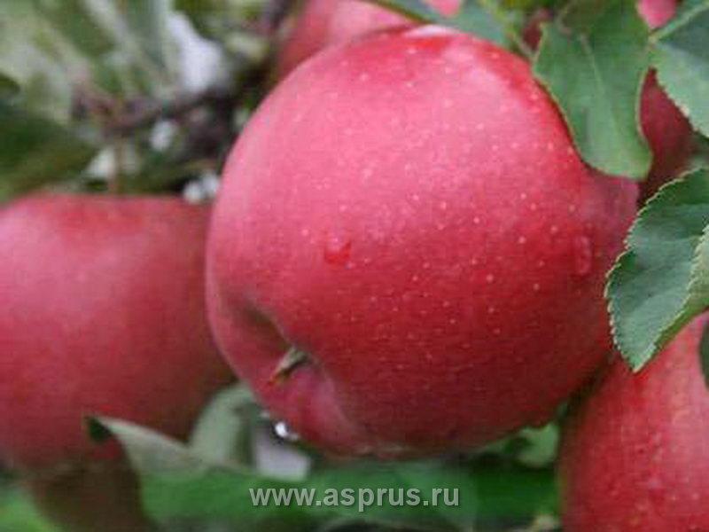 Коммерческое предложение по яблоне