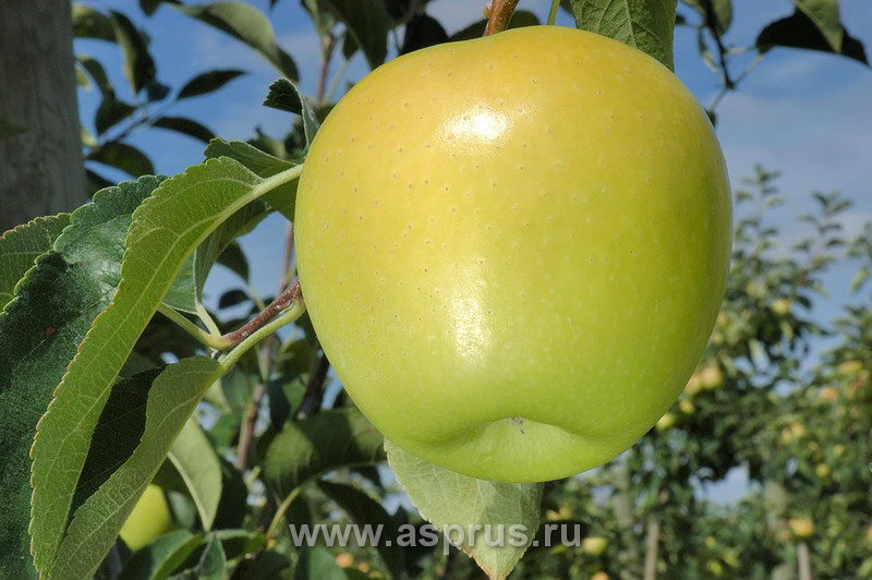Яблоко голден владимирский фото