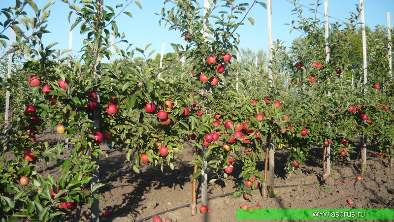 Плодоношение интенсивного сада