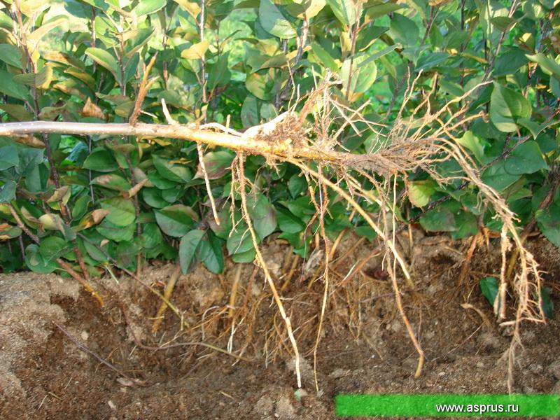 Образование и рост корней отводков яблони