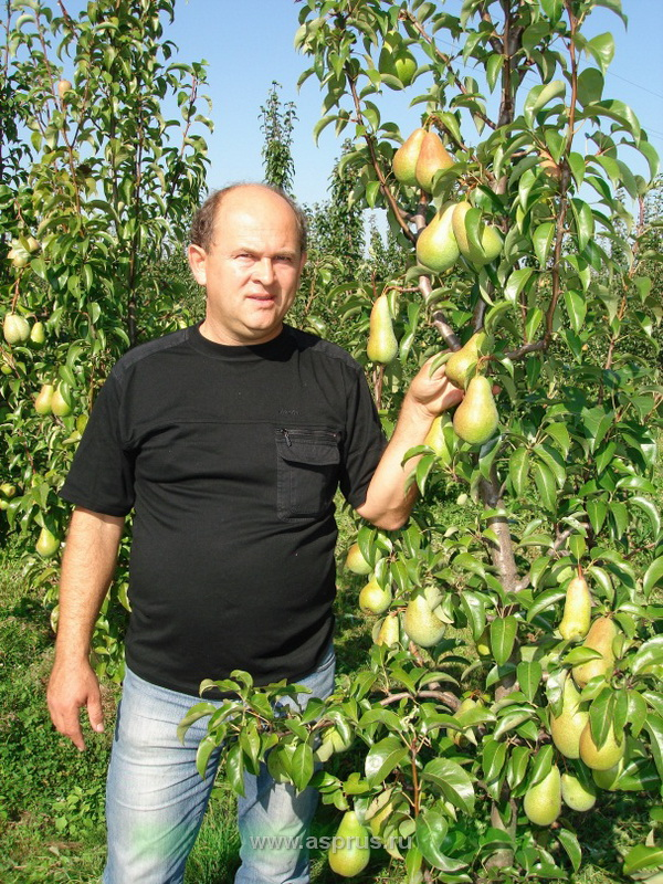 Плодоношение интенсивного сорта груши