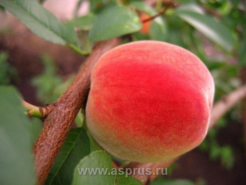 Член со вкусом персика