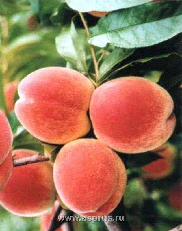 персик, сортимент персика, купить, саженцы, Вельвет
