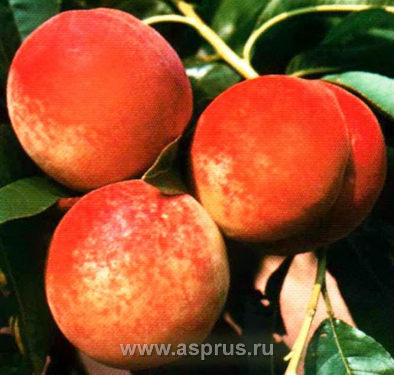 персик, сортимент персика, купить, саженцы, Харбингер
