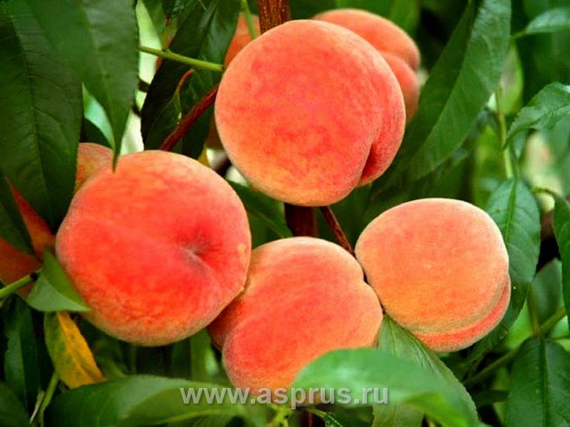 персик, сортимент персика, купить, саженцы, Харнас
